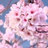 مامان شکوفه گیلاس